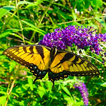 Papilio glaucus Eatern Tiger Swallowtail and Buddleia butterfly bush Faryna