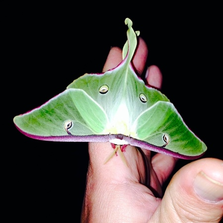 Luna Moth 3 Faryna May 2014