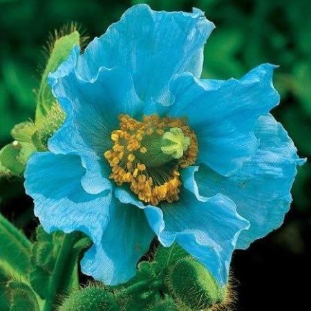 himalayan blue poppy faryna gabalots